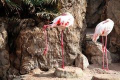 Dwa flaminga ptaka cieszy się słonecznego dzień obraz stock