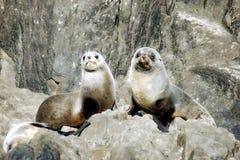Dwa foki na skałach z Tasmania Australia Obrazy Royalty Free