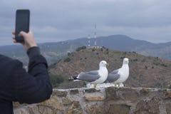 Dwa frajera Larus michahellis Śródziemnomorski stojak na kamiennej ścianie stary forteca Mężczyzna fotografuje ptaki na smartphon obraz stock