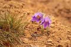 Dwa g?r Pasqueflowers Pulsatilla Montana obraz stock
