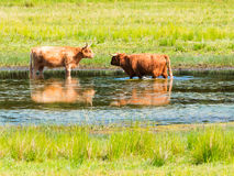 Dwa górskiej krowy cool daleko w stawie na gorącym letnim dniu w naturze r Zdjęcie Stock