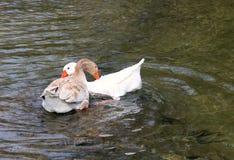 Dwa gąski przygotowywa kojarzyć w parę Rodzinny reprodukcji pojęcie zdjęcia stock