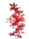 Dwa gałąź z kolorowymi jesień liśćmi Obrazy Royalty Free