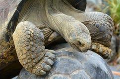 Dwa Galapagos tortoise kotelnia Zdjęcie Royalty Free