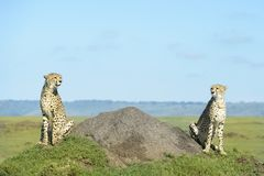 Dwa gepardów Acinonix jubatus na wzgórzu Obrazy Royalty Free