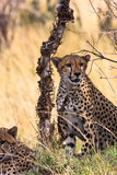 Dwa geparda blisko drzewa Kenja, Eastest Afryka Zdjęcie Stock