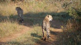 Dwa geparda chodzącego daleko od Obraz Stock
