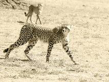 Dwa geparda fotografującego w Kgalagadi parku narodowym Ten fotografia przetwarza w sepiowych brzmieniach Kolor wersja jest dostę Zdjęcie Royalty Free