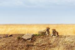 Dwa geparda łgarskiego puszka w Afryka Zdjęcie Royalty Free
