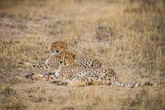 Dwa geparda kłaść w trawie Fotografia Royalty Free