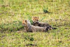 Dwa geparda lisiątka relaksuje na sawannie Obrazy Stock