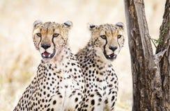 Dwa geparda odpoczynku po posiłku w Serengeti Fotografia Royalty Free