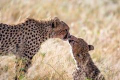 Dwa geparda szczotkuj? each inny po posi?ku zdjęcia stock