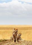 Dwa geparda w Afryka - Vertical z kopii przestrzenią Zdjęcia Stock