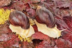 Dwa Gigantycznego afrykanina Achatina ślimaczka na czerwonym winogronie opuszczają Obraz Royalty Free