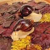 Dwa Gigantycznego afrykanina Achatina ślimaczka na kolorów gronowych liściach Obrazy Stock