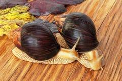Dwa Gigantycznego afrykanina Achatina ślimaczka na drewnianym tle z grap Obraz Royalty Free