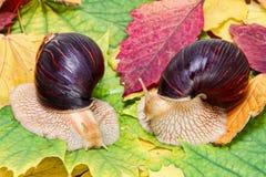 Dwa Gigantycznego afrykanina Achatina ślimaczka na stubarwnym jesieni ulistnieniu Obraz Royalty Free