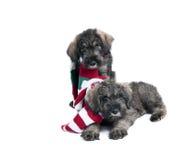 Dwa Gigantycznego Schnauzer szczeniaka psa z Wakacyjnymi Scarves Zdjęcia Stock