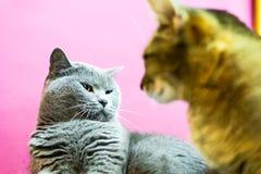Dwa gniewnego kota Obrazy Royalty Free