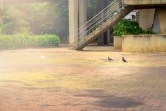 dwa gołąb na ulicznym Thailand obraz royalty free