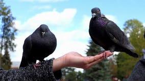 Dwa gołąbki siedzą na ręce kobieta z adrą w mo zdjęcie wideo