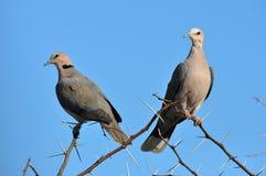 Dwa gołąbki z niebieskim niebem Zdjęcie Stock