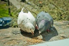 Dwa gołębi karmić Zdjęcia Royalty Free