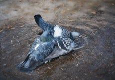 Dwa gołębia siedzi w kałuży na bruku fotografia stock