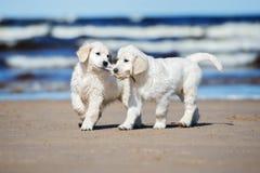 Dwa golden retriever szczeniaka na plaży Zdjęcie Stock