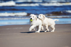 Dwa golden retriever szczeniaka na plaży Fotografia Royalty Free