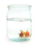Dwa goldfish w słoju Zdjęcie Royalty Free