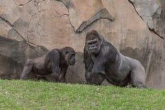 Dwa gorrilas opowiadać Zdjęcie Royalty Free
