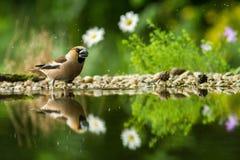 Dwa grubodziobów obsiadanie na liszaju brzeg wodny staw w lesie z pięknym bokeh i kwiaty w tle, Niemcy, ptasi reflecte zdjęcie stock