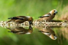 Dwa grubodziobów obsiadanie na liszaju brzeg wodny staw w lesie z pięknym bokeh i kwiaty w tle, Niemcy, ptasi reflecte fotografia royalty free