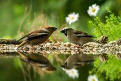 Dwa grubodziobów obsiadanie na liszaju brzeg wodny staw w lesie z pięknym bokeh i kwiaty w tle, Niemcy, ptasi reflecte zdjęcia stock