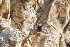 Dwa halnej kózki robi miłości w skalistym krajobrazie w wyspie Grecja Zdjęcie Royalty Free