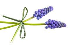 Dwa hiacyntu kwiatu Obrazy Royalty Free