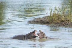 Dwa hipopotamów bawić się (Hipopotamowy ziemnowodny) Zdjęcia Stock