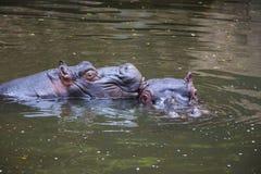 Dwa hipopotam Bawić się w wodzie 1 Obrazy Stock