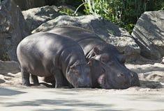 Dwa hipopotama, matka i dziecko, Fotografia Stock