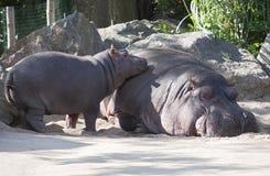Dwa hipopotama, matka i dziecko, Obraz Stock