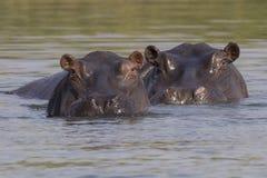 Dwa hipopotama patrzeje above - wodę Zdjęcia Royalty Free
