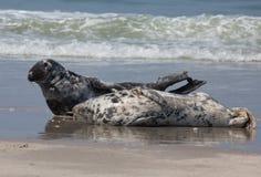 Dwa Horsehead foka Zdjęcie Royalty Free