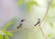 Dwa Hummingbirds Fotografia Royalty Free