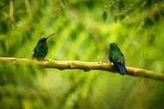 Dwa hummingbirds Jarzy się Puffleg obsiadanie na gałąź w deszczu w tropikalnym lesie, Kolumbia, ptasi tyczenie, malutki piękny pt zdjęcie royalty free