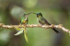 Dwa hummingbirds siedzi na gałęziasty następnym i oddziałają wzajemnie, hummingbirds od tropikalnego tropikalnego lasu deszczoweg fotografia stock