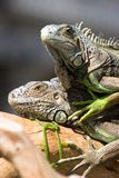 Dwa iguany wygrzewają się w słońcu w parku Fotografia Stock