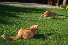 Dwa imbir kot na polowaniu zdjęcia royalty free