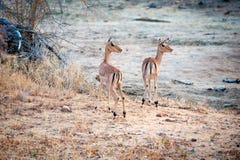 Dwa Impala w otwartej ziemi Fotografia Stock